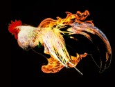 Rooster on Fire!